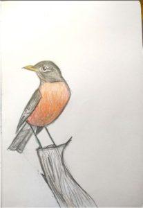 American Robin, male